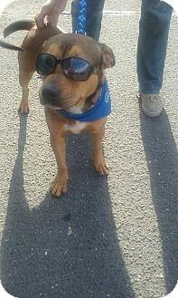 Rottweiler Mix Dog for adoption in Middlebury, Connecticut - Stewart