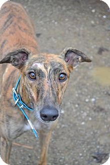 Greyhound Dog for adoption in Chagrin Falls, Ohio - Gabby (Dinerogabby)