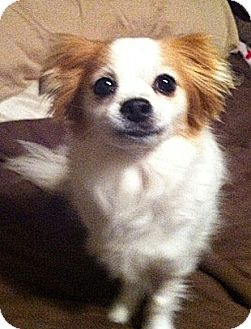Papillon Mix Dog for adoption in Toronto, Ontario - ChaCha