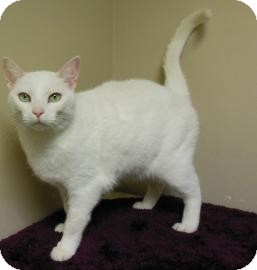 Domestic Shorthair Cat for adoption in Gary, Indiana - Frankie