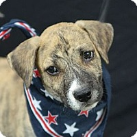 Adopt A Pet :: Rooney - Plano, TX