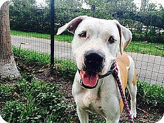 Pit Bull Terrier/Labrador Retriever Mix Dog for adoption in Davie, Florida - Buttercup Rose