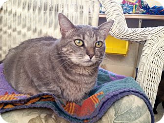 Domestic Shorthair Cat for adoption in Mountain Center, California - Polly Ann
