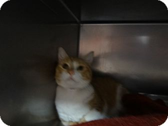 Domestic Shorthair Cat for adoption in Tucson, Arizona - GINGER