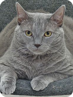 Domestic Shorthair Cat for adoption in Chambersburg, Pennsylvania - Smokey Mechu