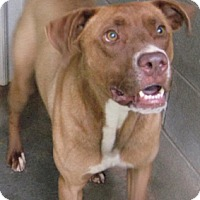 Labrador Retriever/Pit Bull Terrier Mix Dog for adoption in Tahlequah, Oklahoma - Lorenzo
