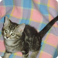 Adopt A Pet :: Stewie - Woodstock, ON