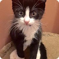 Adopt A Pet :: Sylvester: A Super Tuxedo Baby - Brooklyn, NY