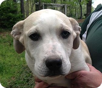 Labrador Retriever Mix Puppy for adoption in Manchester, New Hampshire - Boonie