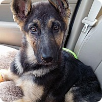 German Shepherd Dog Mix Puppy for adoption in Detroit, Michigan - *AARF* - Amelia-Pending!
