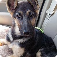 Adopt A Pet :: *AARF* - Amelia-Pending! - Detroit, MI
