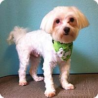 Adopt A Pet :: Orko - McKinney, TX