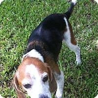 Beagle Dog for adoption in Jacksonville, Florida - Gunnar