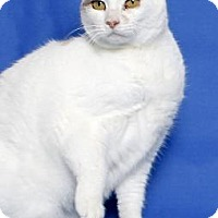 Domestic Shorthair Cat for adoption in Gloucester, Virginia - MARILYN