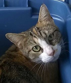 Domestic Shorthair Cat for adoption in Brighton, Missouri - Cloey