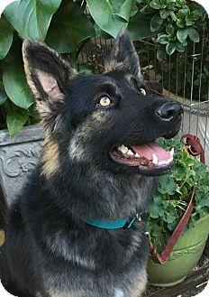 German Shepherd Dog Mix Puppy for adoption in Walnut Creek, California - Laguna