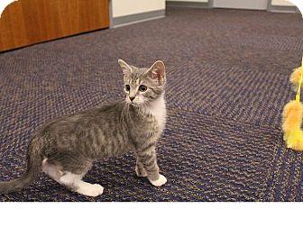Domestic Mediumhair Kitten for adoption in Sparta, New Jersey - Blossom