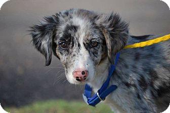 Border Collie Mix Puppy for adoption in Allen, Texas - Jade #275