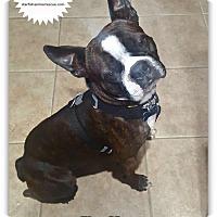 Adopt A Pet :: Bullet - Plainfield, IL