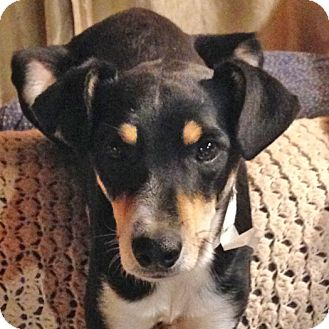 Beagle/Terrier (Unknown Type, Medium) Mix Dog for adoption in Midvale, Utah - robbie