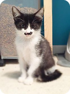 Domestic Shorthair Kitten for adoption in Mooresville, North Carolina - A..  Jagger