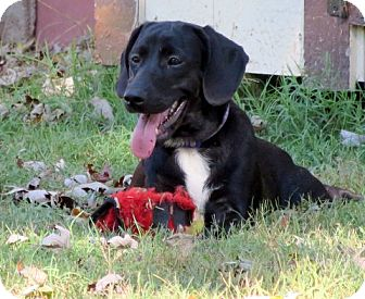 Labrador Retriever/Beagle Mix Puppy for adoption in Glastonbury, Connecticut - Ashlyn~adopted!