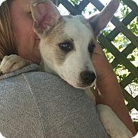 Adopt A Pet :: Xena - Chiefland, FL