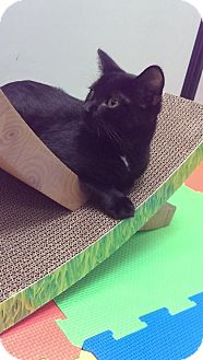 Domestic Shorthair Cat for adoption in Baltimore, Maryland - Ava Gardner (Rat Pack)