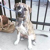 Adopt A Pet :: Dak - Brattleboro, VT