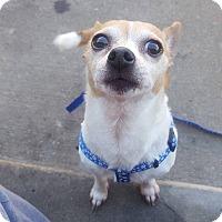 Adopt A Pet :: Gordo - Bucks County, PA