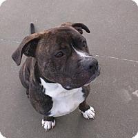 Adopt A Pet :: Dexter - Shaftsbury, VT