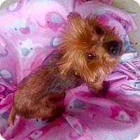 Yorkie, Yorkshire Terrier Dog for adoption in Nashville, Tennessee - Molly