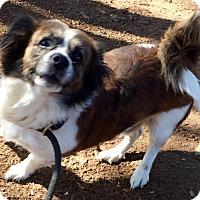 Adopt A Pet :: poncho - valley center, CA