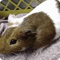 Adopt A Pet :: *Urgent* Bubbles - Fullerton, CA
