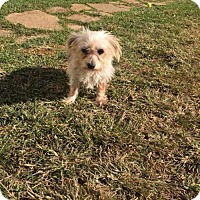 Yorkie, Yorkshire Terrier Mix Dog for adoption in Lindale, Texas - Tootsie