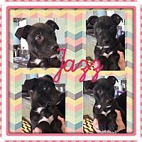 Adopt A Pet :: JAZZ - PARSIPPANY, NJ