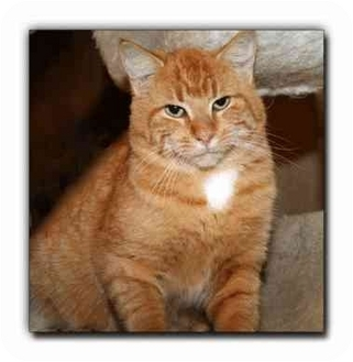 Domestic Shorthair Cat for adoption in Howell, Michigan - Puma