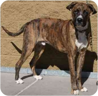 Malibu | Adopted Dog | Gilbert, AZ | Mastiff/Great Dane Mix