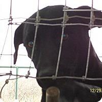 Terrier (Unknown Type, Medium)/Labrador Retriever Mix Dog for adoption in Mexia, Texas - Babs
