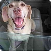 Adopt A Pet :: Labby - Cumming, GA