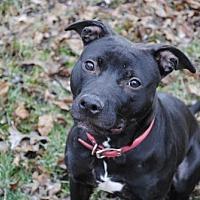 Adopt A Pet :: Bella Bean - Vernon Hills, IL