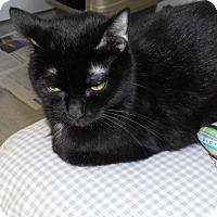 Domestic Shorthair Cat for adoption in Burlington, Ontario - Lucy