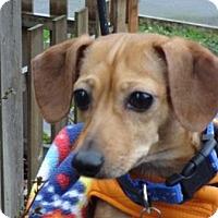 Adopt A Pet :: DARLING DEEDEE - Portland, OR