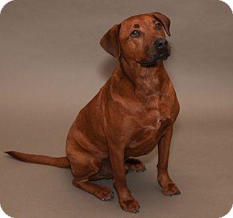 Labrador Retriever Mix Dog for adoption in Marion, Wisconsin - Captain