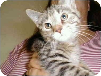 Domestic Shorthair Kitten for adoption in Proctor, Minnesota - Nani