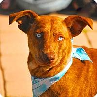 Adopt A Pet :: DJ - Boston, MA
