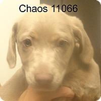 Adopt A Pet :: Chaos - baltimore, MD