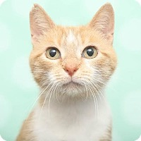 Domestic Shorthair Cat for adoption in Chippewa Falls, Wisconsin - Lavender
