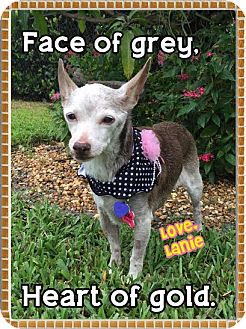 Chihuahua Mix Dog for adoption in Wellington, Florida - Lanie