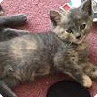 Domestic Shorthair Kitten for adoption in Jerseyville, Illinois - Brownie